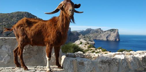 La cabra siempre tira al monte