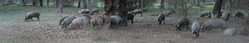 Echar margaritas a los cerdos o arrojar perlas a loscerdos