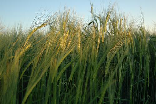 No ser trigo limpio